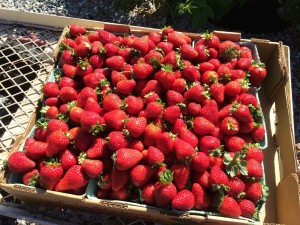 10 pound flat of Strawberries.